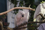 Birds Cockatoos - Public Domain Pictures