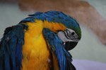 Blue And Yellow Macaw Parrot - Public Domain Pictures