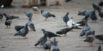 Pigeons Eating Grains - Public Domain Pictures