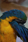Macaw Blue And Yellow Bird - Public Domain Pictures