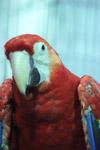 Macaw Parrot Portrait - Public Domain Pictures