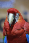 Scarlet Macaw Bird Show - Public Domain Pictures