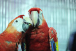 Two Macaws Together - Public Domain Pictures