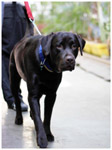 Black Dog - Public Domain Pictures