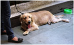 Dog Relaxing Ground - Public Domain Pictures