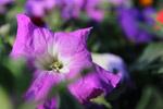 Bright Purple Flower - Public Domain Pictures