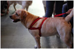Pet Dog - Public Domain Pictures