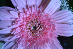 Light Pink Flower Daisy Aster - Public Domain Pictures