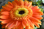 Orange Aster Daisy - Public Domain Pictures