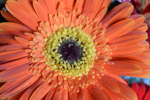 Orange Daisy Lovely - Public Domain Pictures