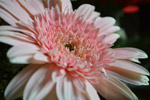 Pink Daisy - Public Domain Pictures