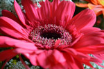 Pink Red Daisy Angle - Public Domain Pictures