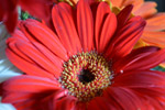 Red Daisy Flower - Public Domain Pictures