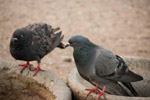 Pigeons Birds - Public Domain Pictures