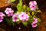 Small Pink Flowers - Public Domain Pictures