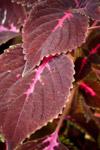 Violet Leaves - Public Domain Pictures