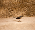 Bird On Ground - Public Domain Pictures
