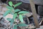 Basil Plant Leaves - Public Domain Pictures