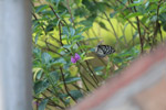 Butterfly In Garden - Public Domain Pictures