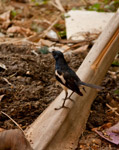 Black Bird Standing - Public Domain Pictures