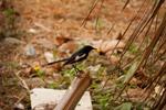 Black Small Bird - Public Domain Pictures