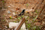 Small Black Bird - Public Domain Pictures