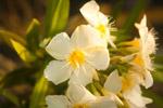 White Flowers - Public Domain Pictures