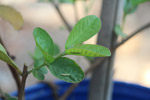 Guava Plant Leaves - Public Domain Pictures