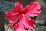 Hibiscus Pink Red Flower - Public Domain Pictures