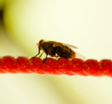 House Fly - Public Domain Pictures