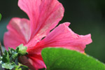 Hibiscus Rose Mallow Flower - Public Domain Pictures