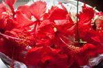 Lots Of Hibiscus - Public Domain Pictures