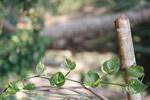 Money Plant Bamboo - Public Domain Pictures