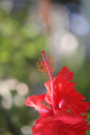 Red Hibiscus Plant Flower - Public Domain Pictures