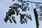 Tree Leaves Sky - Public Domain Pictures