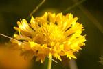 Yellow Flower - Public Domain Pictures