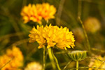 Yellow Flowers - Public Domain Pictures