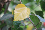 Yellow Leaf - Public Domain Pictures