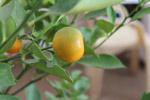 Orange Fruit Plant Garden - Public Domain Pictures