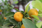 Orange Fruits Garden Lime - Public Domain Pictures