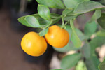 Orange Lime Fruit Plant - Public Domain Pictures