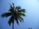 Coconut Tree Blue Sky - Public Domain Pictures