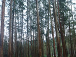 Dense Forest Tall Trees - Public Domain Pictures