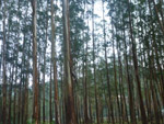 Forest Tall Trees Wood - Public Domain Pictures