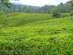 Green Tea Plantations - Public Domain Pictures