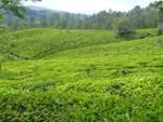 Green Tea Plantations - Public Domain Pictures