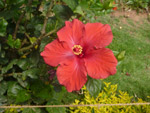 Hibiscus In Garden - Public Domain Pictures