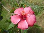 Hibiscus Plant Flower - Public Domain Pictures