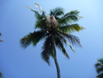 Beautiful Coconut Tree - Public Domain Pictures