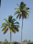 Tall Coconut Tree - Public Domain Pictures